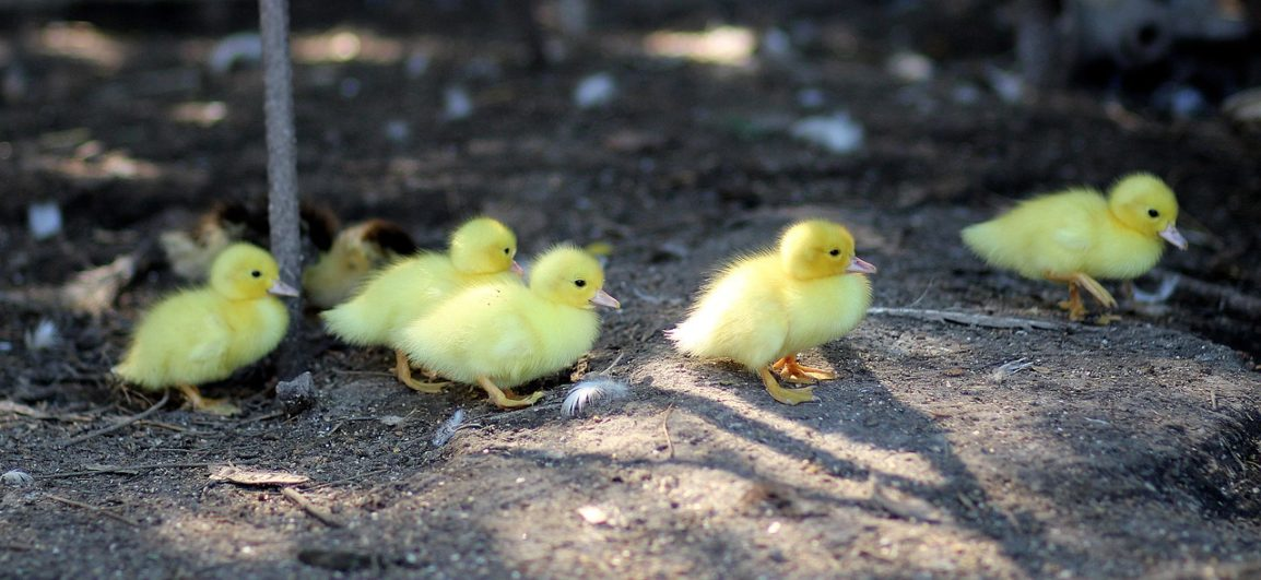 6 yellow baby chicks walking together